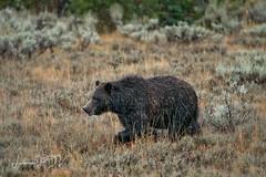 a DRIZZLY BEAR (laura's Point of View) Tags: bear grizzly animal wildlife autumn rain cold sleet grandtetonnationalpark gtnp findyourpark nationalpark moran wyoming west western wilderness lauraspointofview lauraspov sow