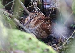 Woodcock (hedgehoggarden1) Tags: woodcock bird rspb wildlife nature creature animal sonycybershot titchwell norfolk eastanglia uk sony birds