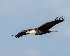 Glide of the Bald Eagle (Mark Schocken) Tags: haliaeetusleucocephalus baldeagle birdinflight canon90d schockenphotography markschocken