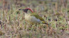 Green Woodpecker ( Picus viridis ) Male (Dale Ayres) Tags: green woodpecker picus viridis male bird nature wild life