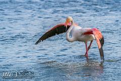 Greater flamingo (Phoenicopterus roseus)-4072 (George Vittman) Tags: bouchesdurhône france birds flamingo posing marsh wildlifephotography jav61photography jav61