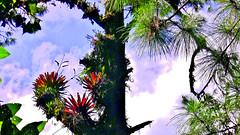 MEXICO, Lagos de Montebello am Regenwald, Landscape and Flora ,  19489/12328 (roba66) Tags: lagos lake see de la montebello water urlaub reisen travel explore voyages rundreise visit tourism roba66 mexiko mexico mécico méjico nordamerika northamerica zentralamerika yukatanhalbinsel 2017 chiapas landschaft landscape paisaje nature natur naturalezza blumen blüten fleur flori flor flora flores bloem plants pflanzen colores color colour coleur epiphyten