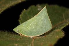 Flatid Planthopper (Flatidae) (John Horstman (itchydogimages, SINOBUG)) Tags: insect macro china yunnan itchydogimages sinobug entomology canon bug hopper planthopper green hemiptera flatidae