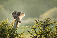 Camera Shy (Fourteenfoottiger) Tags: birdofprey predator raptor bird owl shortearedowl seo britishcountryside britishwildlife wings wildbird wildlife backlight backlit hedgerow preening shy