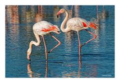 Immer Haltung bewahren... (Babaou) Tags: frankreich france camargue provencealpescôtedazur provence saintesmariesdelamer pontdegau parcornithologique flamingo flamant luberon2019 paca 100400mm eos760d