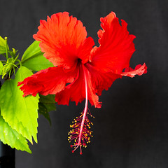 Red and Green on Black (armct) Tags: garden domestic home flower shrub tree hibiscus red bloom subtropical queensland goldcoast closeup macro pollen anthers multilobed stigma
