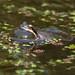 Pacific Chorus Frog Calling