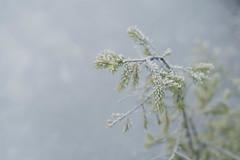 Cold (Christoph Wenzel) Tags: pancolar1850mm deutschland manuell eis sonyalpha7riii neuhausamrennweg carlzeissjena frost natur vintage winter thüringen m42 landschaft