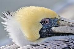 2020.01.29.9339 Sleepy Pelican (Brunswick Forge) Tags: grouped 2020 outdoor outdoors animal animals animalportraits bird birds nikond500 nikkor200500mm nikkor14xteleconverter winter day cloudy wildlife nature florida air sky clear mayport jacksonville atlanticbeach