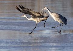 """get a move on, you klutz!"" (marianna armata) Tags: sandhill crane bird funny hysterical comical poses newmexico usa mariannaarmata"