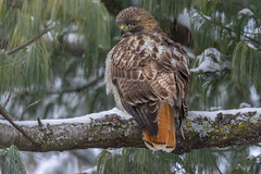 Red-Tailed Hawk (Buse à queue rousse) (miro_mtl) Tags: attente buteojamaicensis d7200 jardinbotanique michelrochon montreal nikon nikond7200 outdoors redtailedhawk rosemont tamron tamronsp150600mm aigle amerique arbres bird birdofprey botanicalgarden botanique branches buse buseàqueuerousse canada chasse chasseur ciel city clouds cloudysky feathers hawk hiver hunter hunting jardin nature oiseau oiseaudeproie patience plumage quebec red rousse snow trees ville waiting wildlife winter