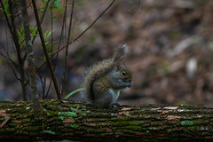 Little Squirrel (BEHP Photography) Tags: baby little squirrel slough trees green coth5 mammal florida animal nikon nikkor d850 wild bokeh wildlife fortmyers sixmileslough lillittle preservr tail preserve naturethroughthelens