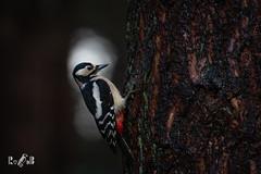Great spotted woodpecker in the spotlight (Renate van den Boom) Tags: 01januari 2020 camera canonef100400mmf4556lusmistypeii canoneos7dmarkii europa grotebontespecht jaar lens maand nederland noordbrabant putte renatevandenboom vogels