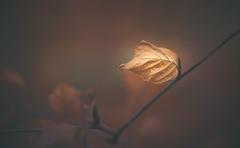 dry leaf (Dhina A) Tags: sony a7rii ilce7rm2 a7r2 a7r malik triolam 100mm f29 france anastigmat 29 maliktriolamfranceanastigmat100mmf29 slide projection projector lens french manualfocus bokeh dry leaf brown
