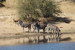 Zebra Reflections (Rckr88) Tags: krugernationalpark southafrica kruger national park south africa zebra reflections zebrareflections reflectionreflectionzebra reflectionzebrasanimalanimalswaterdamdamslakelakesriverriversriver banknaturenatural world outdoors travel travelling