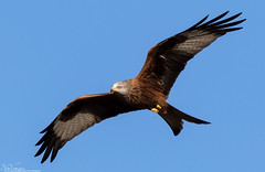 Red Kite (Steve (Hooky) Waddingham) Tags: animal countryside canon bird british wild wildlife nature flight kite red prey photography