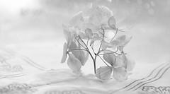 Hydrangea in winter (Elisafox22) Tags: elisafox22 sony rx10m3 monochromethursday hmt monochromebokehthursday hydrangea flowers dried winter cloth tabletop monochrome bw blackandwhite indoors elisaliddell©2020