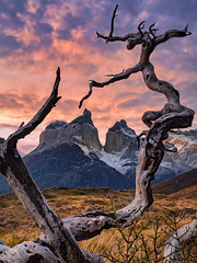 The Twisted Forest (Elia Locardi) Tags: patagonia torres del paine tree trees mountain fujifilm gfx 50s sunset landscape elia locardi