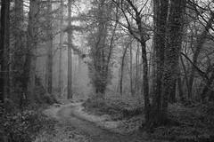 Utopian Woodland (shawn~white) Tags: ©shawnwhite fujifilmxt2 calm beautiful beauty dreamy enchanting elegance harmonious magical moody nostalgia relaxing reminiscing reminisce serene serenity softlight vintage wonder ceredigion blackcovert westwales uk fujinonxf1655f28rlmwr grain filmlook bw blackandwhite woodland conifer coniferous deciduous forest forestry tree trees wood woods fog foggy atmosphere