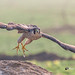 A Peregrine Falcon Taking Off