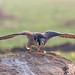 A Peregrine Falcon Ready to take off