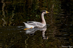 Oie hybride (Ezzo33) Tags: france gironde nouvelleaquitaine bordeaux ezzo33 nammour ezzat nikon d500 parc jardin oiseau oiseaux bird birds oierieuseanseralbifrons greaterwhitefrontedgoose