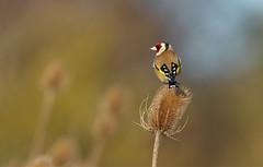 (European) Goldfinch (steve whiteley) Tags: wildlife wildlifephotography nature bird birdphotography goldfinch cardueliscarduelis framptonmarsh europeangoldfinch canon7dmkii