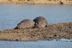 Hippos at the Dam (Rckr88) Tags: krugernationalpark southafrica kruger national park south africa hippos dam hipposatthedam dams hippo hippopotamus water lake lakes river rivers riverbank nature naturalworld outdoors animals animal travel travelling