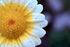 Flower (qasim.cheema) Tags: nopeople flower nature petal flowerhead closeup freshness pollen growth plant beautyinnature fragility daisy day outdoors