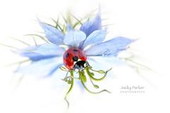 Lady Love (Jacky Parker Photography) Tags: ladybird ladybug ladybeetle insect beetle bug flower loveinthemist nigelladamascena whitebackground highkey flowerphotography naturephotography beautyinnature freshness fragility wildlife garden gardenwildlife natureuk nikond750 uk