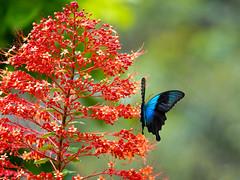 Papilio peranthus (Green Baron Pro) Tags: butterfly 201912 sulawesi indonesia papilionidae hirez
