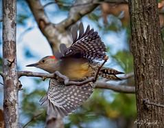 Red-bellied Woodpecker Taking Off (Kelly_MR) Tags: bird birds woodpecker redbelliedwoodpecker backyardbirds wings feathers birdsinflight bif birdinflight