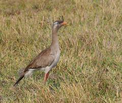 Red-legged Seriema, Cariama huppé (JLS@Photos) Tags: cariamahuppé amérique matogrosso brésil oiseau animal america bird brazil cariamacristata redleggedseriema