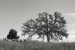 Oak on a November Afternoon (StefanB) Tags: california californa 2019 em5 1235mm tree outdoor hiking sanjose geotag treescape oak