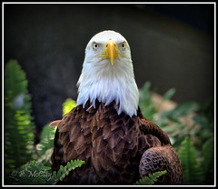 Eagle Eyed (pandt) Tags: eagle eyes zoo tampa florida outside outdoors animal stare staring nature flickr canon eos slr 6d tamron 150600 bokeh beak feathers