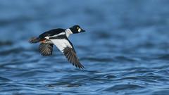 Common Goldeneye  7728 (Paul McGoveran) Tags: bif bird birdinflight commongoldeneye duck lasallepark lakeontario nature nikon500mmf4 nikond850 wings