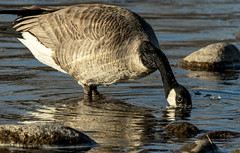 Thirsty (jimmy.stewart40) Tags: animalwildlife canadagoose drinking water river blue outdoors nature