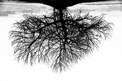 Roots (jaume zamorano) Tags: blackandwhite blancoynegro blackwhite blackandwhitephotography blackandwhitephoto bw boira brouillard d5500 fog foggy ground monochrome monocromo mist noiretblanc nikonistas niebla pov urban urbana view