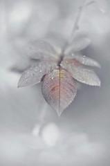 without color (Slávka K) Tags: toneless macro leaf drops droplets stilllife tones pastels bokeh