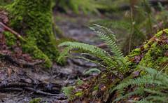 Fern  fronds (Through Bri`s Lens) Tags: sussex ashurst spithandlelane ferns forest woods mud bog brianspicer canon5dmk3 canon70200