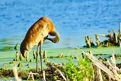 Preening Sandhill Crane - Lake County, Illinois (stevelamb007) Tags: bird illinois nikon crane preening wetlands nikkor sandhillcrane longgrove 300mmf4 stevelamb heroncreek d7200 evening