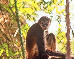 """""""Your perspective on life depends on the cage you were held captive in."""" ~~ Shannon L. Alder (Irene2727) Tags: monkey cage animal bars tree yucatan spidermonkey coth5"""