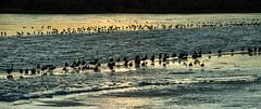 Shouldn't They Have Flown South For The Winter? (wyojones) Tags: wyoming cody becklake ice water melt habitat wetlands lake frozen evening sunset canadageese brantacanadensis silhouette