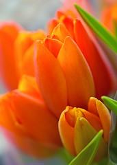 Orange + green (L@nce (ランス)) Tags: macro micro 40mmf28micronikkordxafs flowers flower bouquet plant orange nikkor nikon victoria britishcolumbia canada
