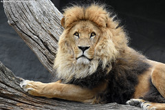 African lion - Tierpark Hagenbeck (Mandenno photography) Tags: animal animals african lion lions leeuw leeuwen bigcat big cat cats tierparkhagenbeck tierpark hagenbeck hamburg germany dierenpark dierentuin dieren duitsland discovery nature natgeo natgeographic bbcearth bbc zoo
