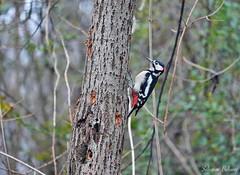 Picchio rosso maggiore ( Dendrocopos major ) (SALVO 1) Tags: picchio uccello