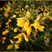 January Gorse