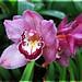 orquídeas: Cymbidium