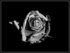 Róża B&W. (andrzejskałuba) Tags: poland polska pieszyce dolnyśląsk silesia sudety europe plant plants panasonicdmcfz200 lumix macro monochrome natura nature natural natureshot natureworld naturephotographer nopeople beautiful beauty biały beautyofnature black blackwhite bw cień czarny zima white winter kwiat kwiaty flower flora floral flowers focusonforeground ogród outdoor garden roślina rośliny rose róża roses róże day 1000v40f 1500v60f