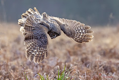 Great Gray Owl (Thy Photography) Tags: greatgrayowl greatgreyowl raptor raptors animal wildlife animals raresighting rarebird nature bird backyard birdofprey california sunrise sunshine sanfranciscobayarea sonya7rm4 sonya9ii avian sonya9 outdoor photography prey